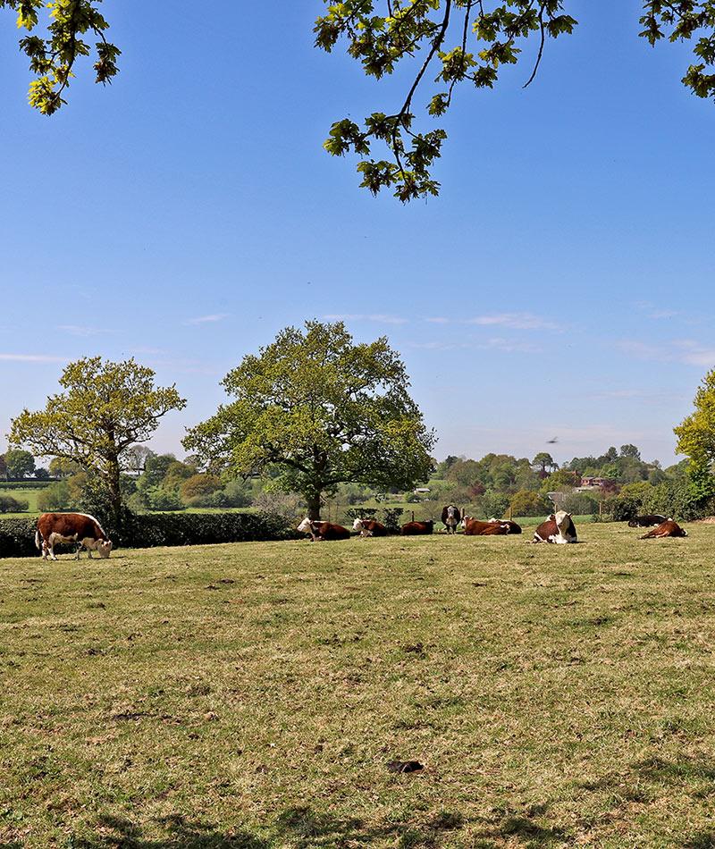 woodview cows in field